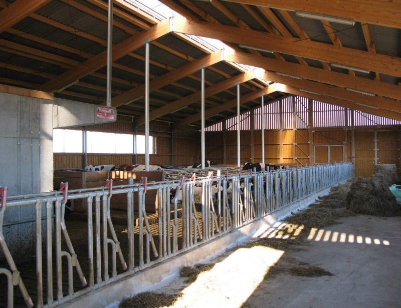 Farma muznih krava sa resetkastim podom